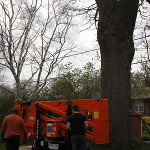 removal-of-a-huge-hollow-oak-in-toronto03