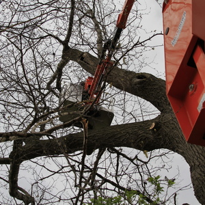 removal-of-a-huge-hollow-oak-in-toronto11