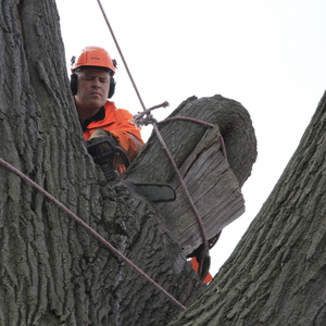 removal-of-a-huge-hollow-oak-in-toronto17