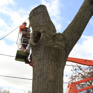 removal-of-a-huge-hollow-oak-in-toronto22