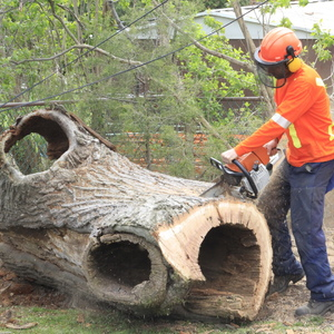 removal-of-a-huge-hollow-oak-in-toronto23