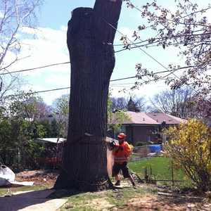 removal-of-a-huge-hollow-oak-in-toronto24