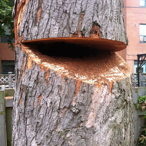 removal-of-a-large-dangerous-maple-toronto-03