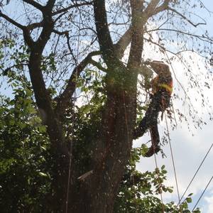 removal-of-a-large-dead-elm-007