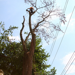 removal-of-a-large-dead-elm-009