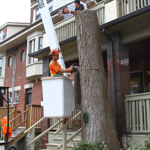 removal-of-a-large-dead-elm-012