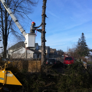 removal-of-a-tall-spruce-in-mississauga