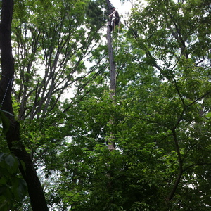 removal-of-dead-tall-spruce-toronto