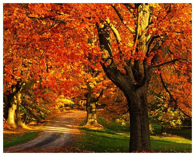 maple tree with fall foliage port william nova scotia canada