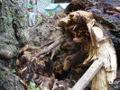 emergency-removal-of-a-large-dead-oak-in-toronto-04