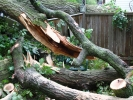 emergency-removal-of-a-large-dead-oak-in-toronto-19