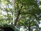 emergency-removal-of-a-large-dead-oak-in-toronto-22