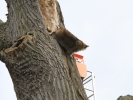removal-of-a-huge-hollow-oak-in-toronto14