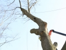 removal-of-a-huge-hollow-oak-in-toronto15