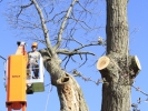 removal-of-a-huge-hollow-oak-in-toronto16