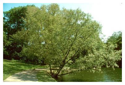 2 Black Willow