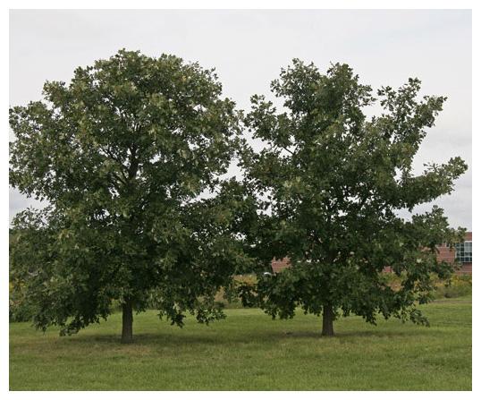 3 Bur Oak