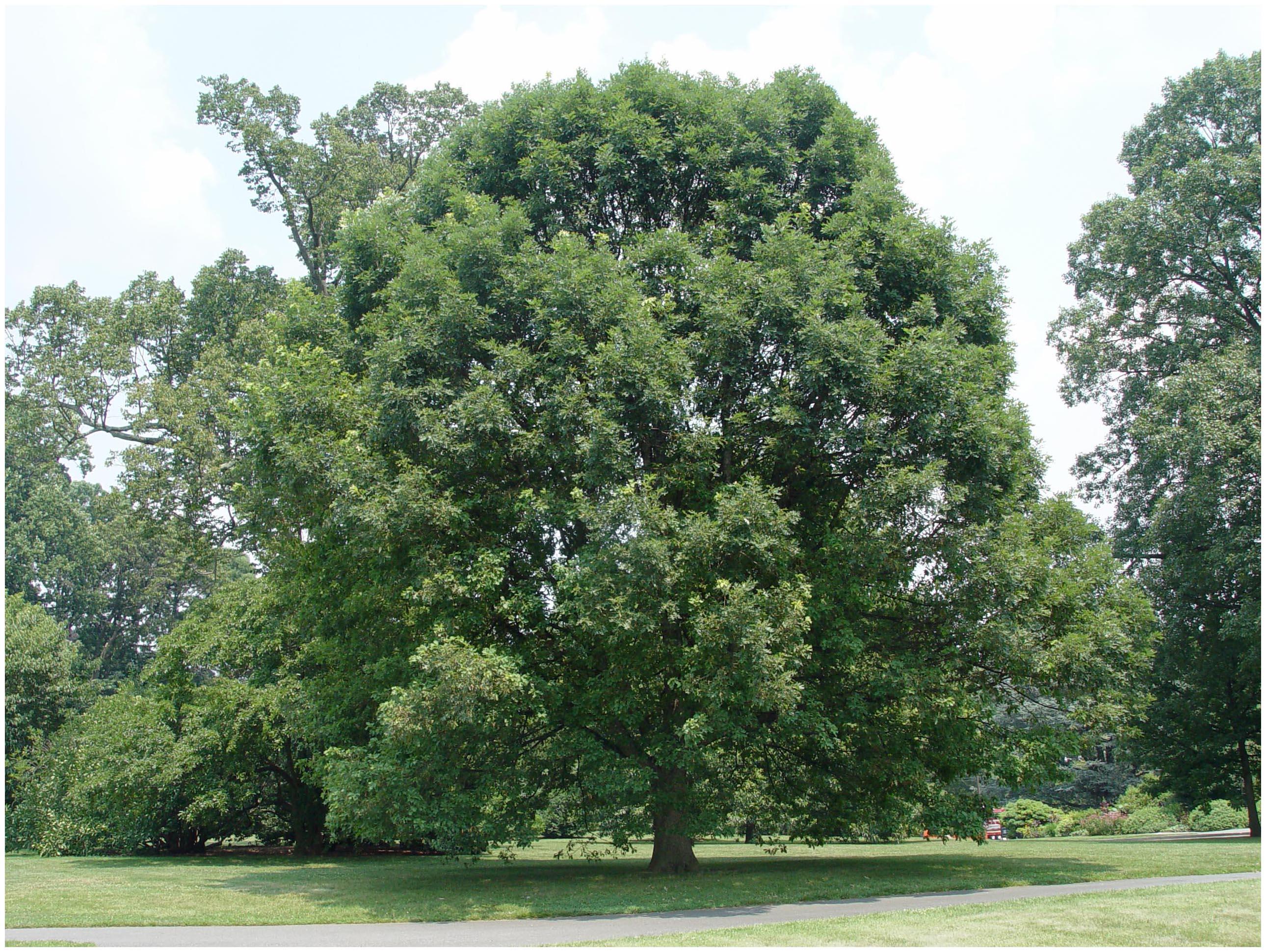 4 White Oak