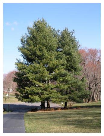 5 White Pine