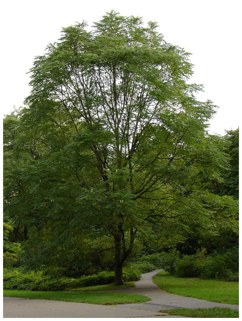 8 Kentucky Coffeetree