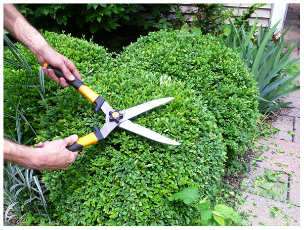 How Frequently Do Hedges and Shrubs Need to be Trimmed