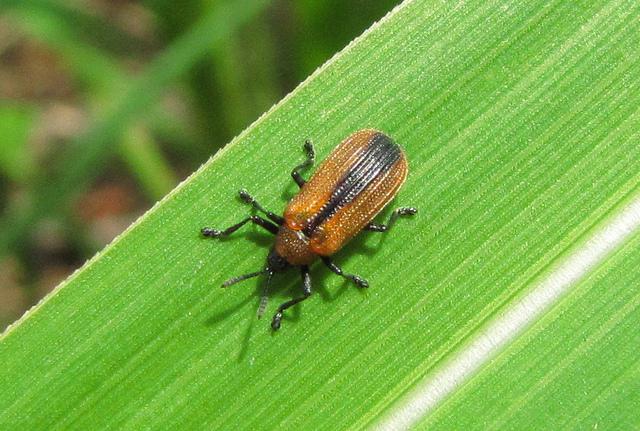 Locust Leafminer