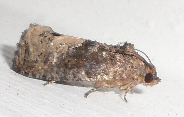 Locust Twig Borer