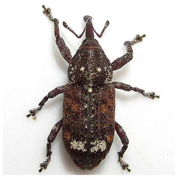 Northern Pine Weevil