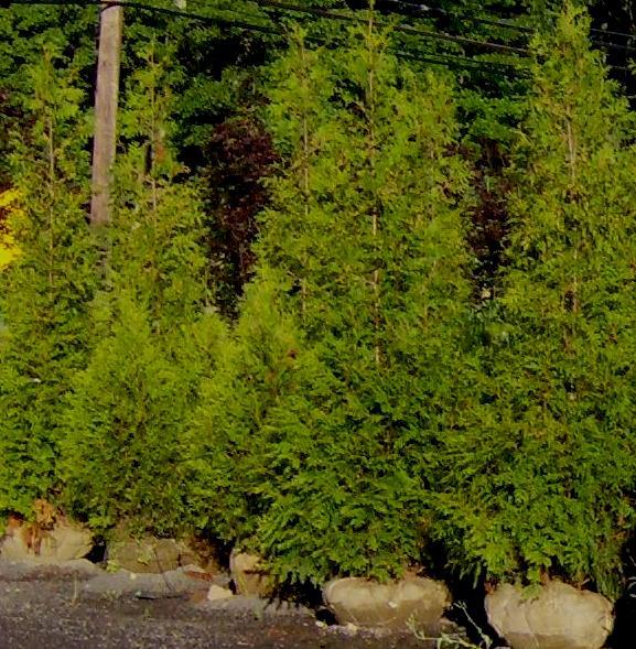 Planting Cedar Hedges