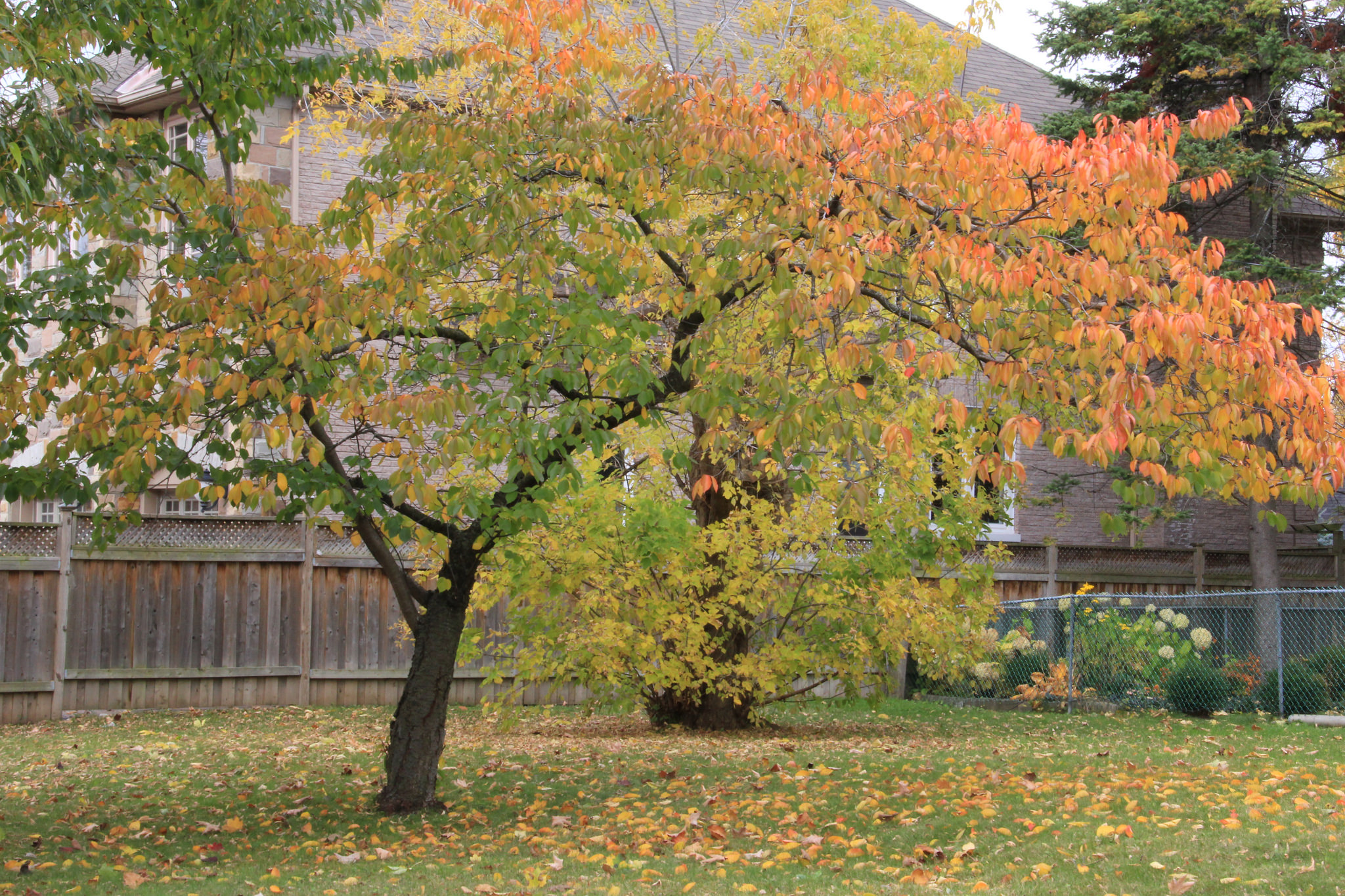 Remove Fallen Leaves under Fruit Trees