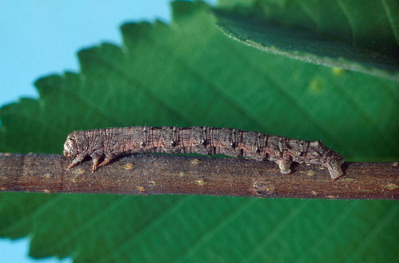 Spring Cankerworm