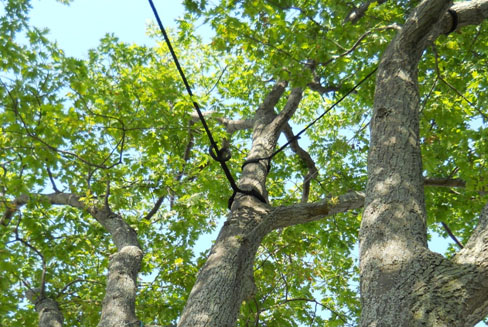 Things You Need to Know about Tree Cabling and Bracing