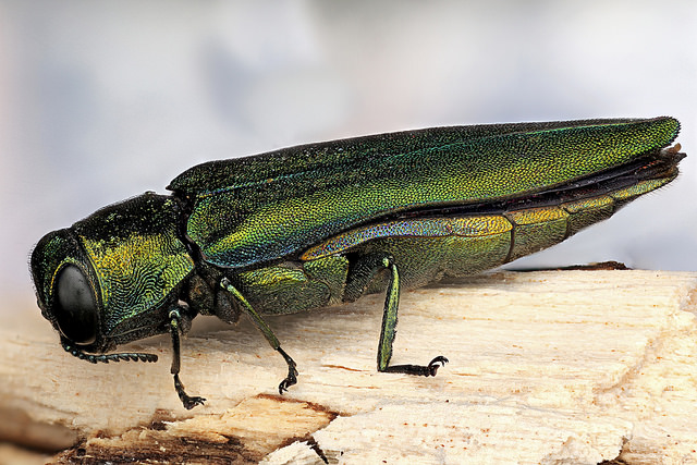 What Insect Pests Can Attack Ash Trees in Toronto