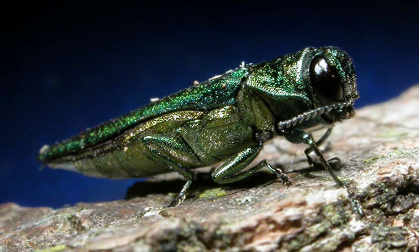 What is the Emerald Ash Border (EAB)