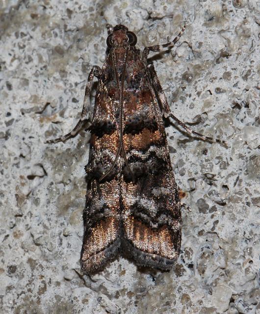 Zimmerman Pine Moth