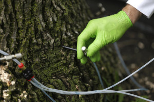 ash tree injections